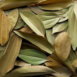 CINNAMON_TREE_LEAVES_-_12_LEAVES_1200x12