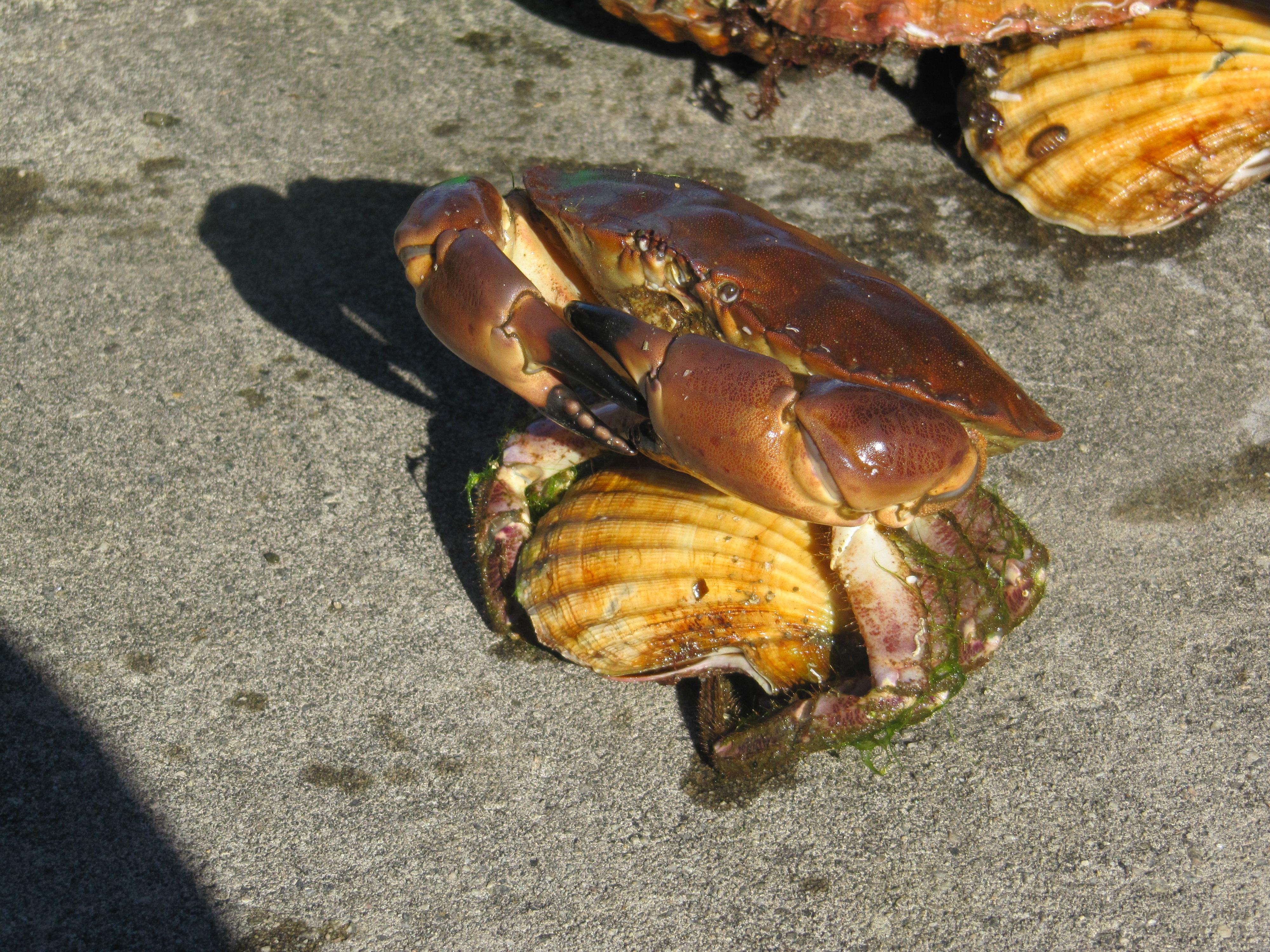 Krabbe tviholder på en kamskjell