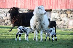 Villsau med sine lamb