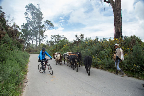 Cycling among cows in Colombia.jpg