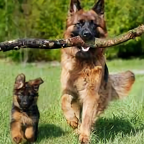Mansfield, TX:  2-day Canine Legal Updates: This course is eligible for 16 TCOLE credit hours.