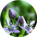 Swertia Chirayita-01.jpg