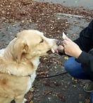 Anti-Giftköde-Traiing für Hunde. Giftköder werden vom Hund vom Hund angezeigt und ausgegeben.
