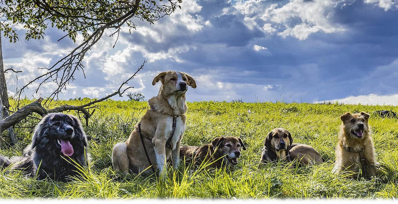 Tierschutz- und herdenschutzhunde im Training