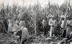 Slaves for Sugar