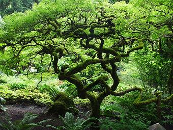 A bonzi Tree from Buchard Gardens in Victoria BC
