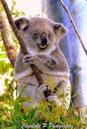 Koala from the Steve Irwin Zoo in Australia