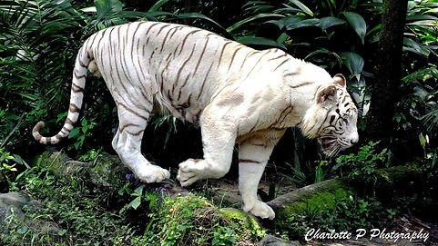 a white tiger from th Singapore Zoo