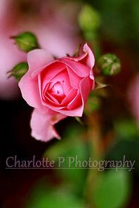 This beautiful rose has won a few awards on Viewbug.com