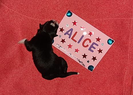 Alice die Sechste 377gr.
