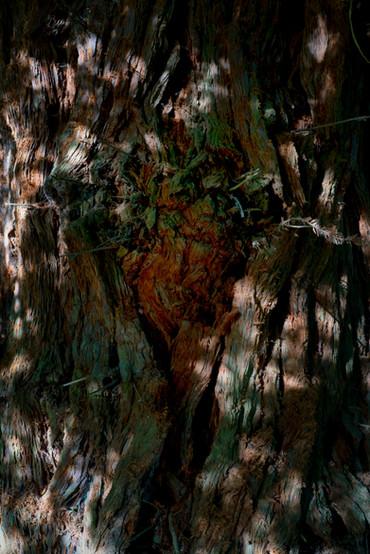 heart of redwood.jpg
