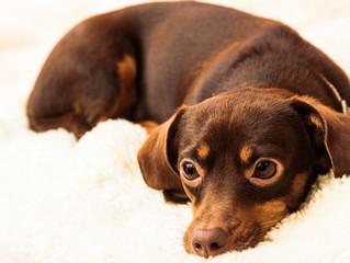 Discopatia canina: saiba como isso pode ocorrer e quais os possíveis tratamentos