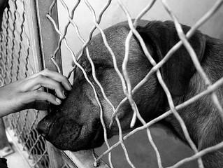 Confira 7 motivos para adotar um cachorro adulto