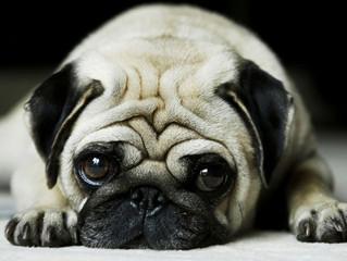 Envenenamento de cães e gatos por chumbinho