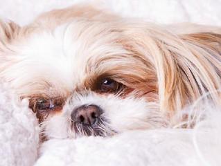 Gravidez psicológica (ou pseudociese) em cadelas