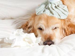 Saiba como identificar sintomas de resfriado canino
