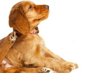Como saber se meu cachorro tem dermatite