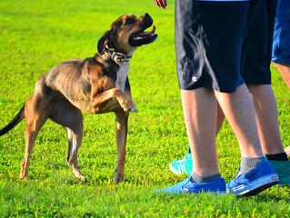 Teste de Q.I. canino - Veja como realizar com seu cão os 12 testes de Q.I. e como calcular o resulta