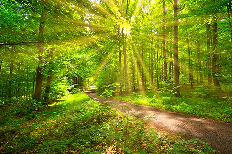sunrays in the spring in a beech forest.