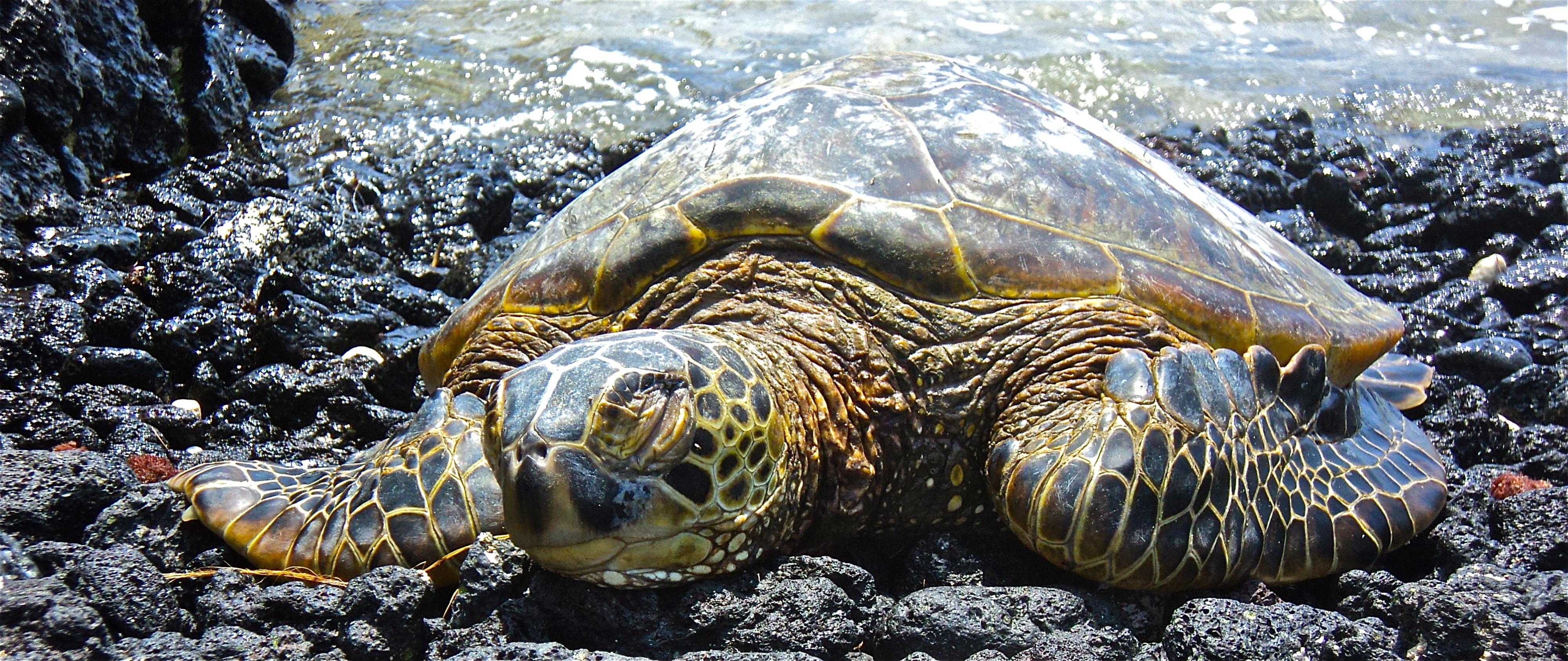 Basking Tortoise