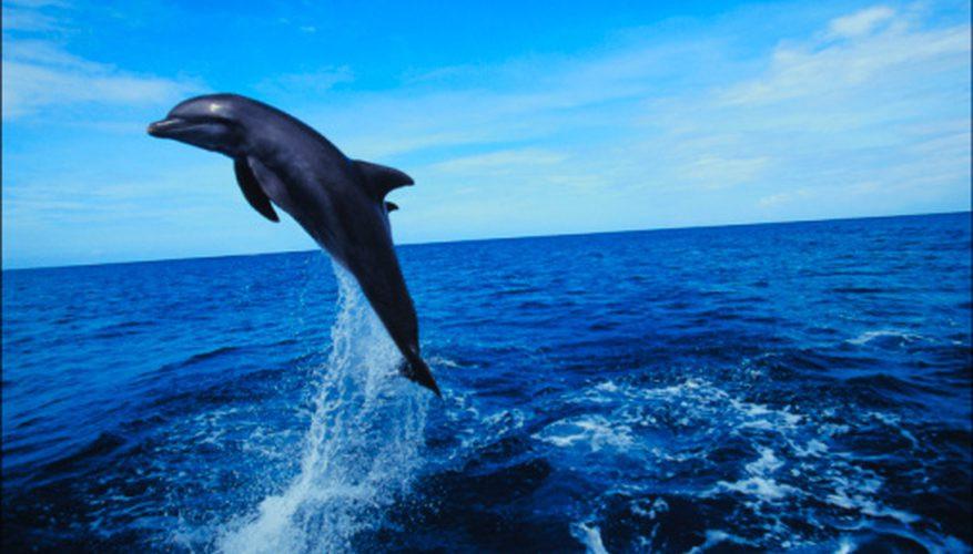 See Dolphin in Sri Lanka