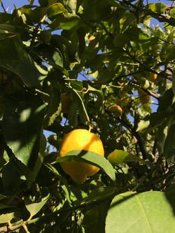 Лимоны в саду