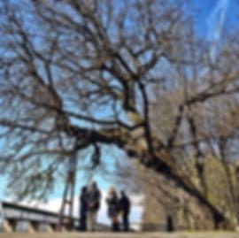 Женева официальное дерево Женевы Швейцария