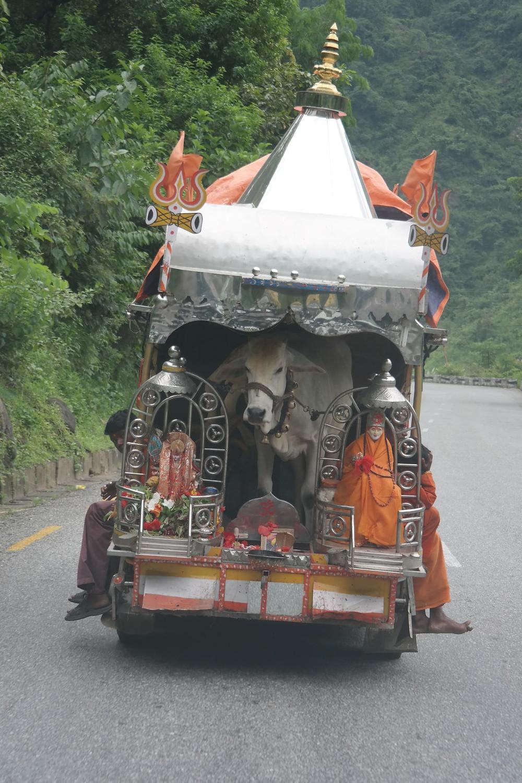 Eine heilige Kuh wird in einem fahrendem Tempel transportiert