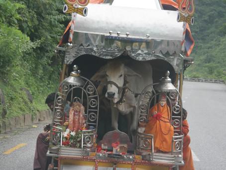 Kühe Fest In Nepal (Gaijatra):