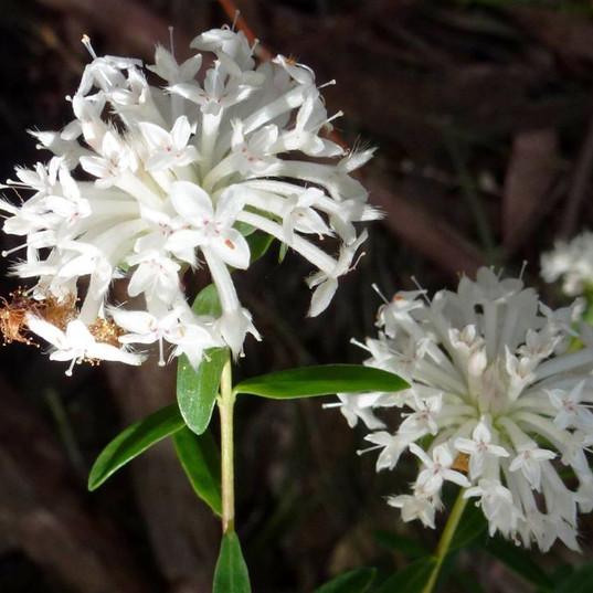 Slender Rice Flower.jpg