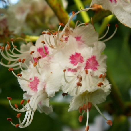 White Chestnut (Castaño Blanco)