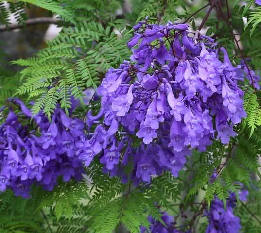 Jacaranda (Jacaranda Mimosaefolia)