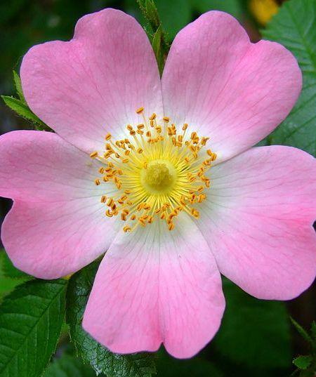 Dog Rose (Bauera Rubioides)