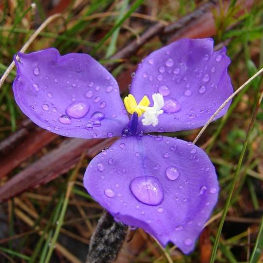 Bush Iris (Patersonia Longifolia)
