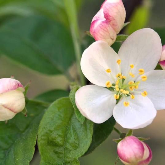 Crab Apple (Manzano Silvestre)