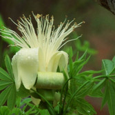 Boad (Adansonia Gibbosa)