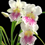 Miltonea phalenopsis.png