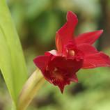 Corazon (Laeliocattleya Hybr.)