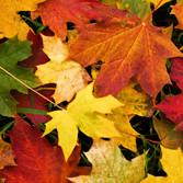 Autumn Leaves (Companion Essence)