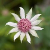 Pink Flannel Flower (Actinotus Forsythii)