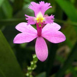 Epidendrum secundum.jpg