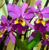 orquidea de la abundancia.jpg