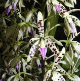 Epidendrum prismatocarpum.jpg