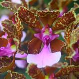 Oncidium lanceanum.jpg