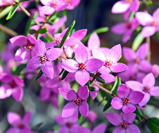 Boronia (Baronia Ledifolia)
