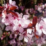 Cherry Plum (Cerifera)