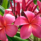 Red Suva Frangipani.jpg