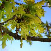 Oak (Roble)
