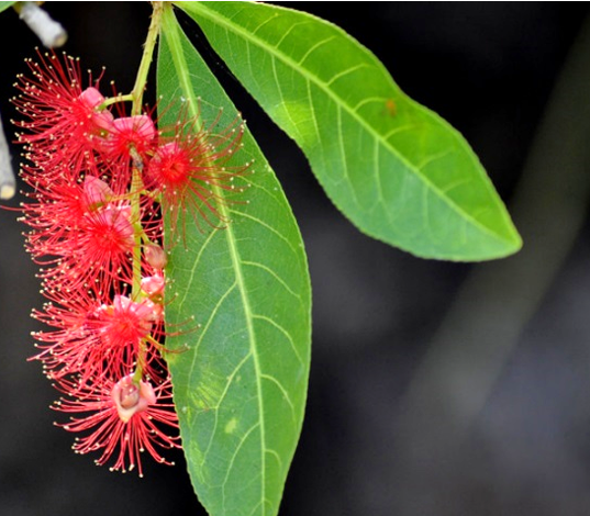 Freshwater Mangrove (Barringtonia Acutangula)