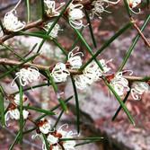 Dagger Hakea (Hakea Teretifolia)